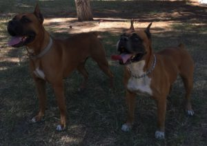 Muscle dogs